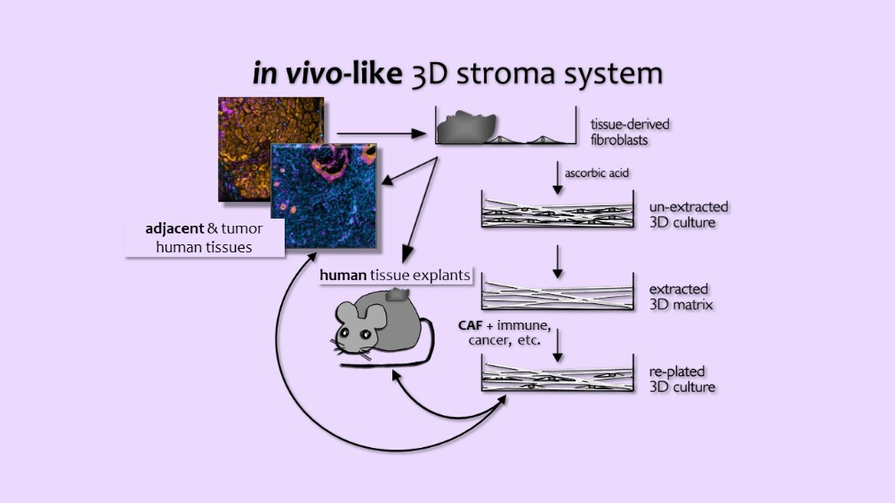 Cartoon depicting approaches commonly used by the Cukierman team to study desmoplastic stroma influences on tumorigenesis. Fresh surgical sample pairs of tumor and benign adjacent tissue are used to harvest fibroblastic cells, which are used to generate CDMs. The 3D cultures can be treated to extract the original cells, leaving the natural scaffold as a thin 3D coating material that can serve for culturing new cells. A plethora of cells, including fibroblasts, cancer cells, immune cells, nerves and more can then be study, independently or in combination with other cells, while these reside within the CDMs. Results are then validated in xenografted, human or syngeneic murine, orthotopic and genetic mice models. Validations are also conducted via simultaneous multiplex immunofluorescence using SMIA-CUKIE.