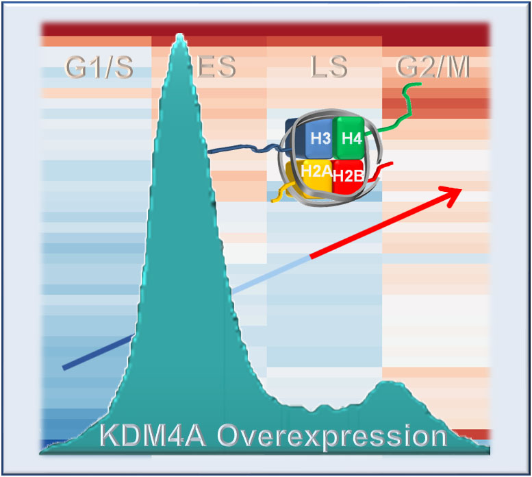 The cartoon captures the studies published in Van Rechem et al. (2020). The cell phase that was sequenced in the KDM4A overexpressing cells is shown with the blue and red heatmap of genes changing upon KDM4A overexpression behind the cell cycle profile. The arrow going from low to high illustrates KDM4A increased histone gene expression.
