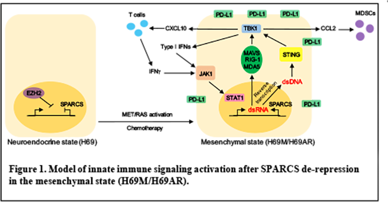 Model of innate immune signaling activation after SPARCS-ERV de-repression in the SCLC mesenchymal state.