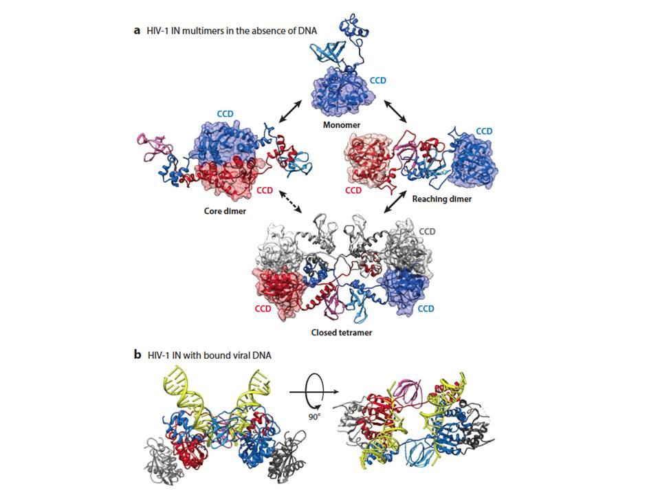Models for architectures of full-length human immunodeficiency virus type 1 (HIV-1) apo-integrase (IN) protein in solution.