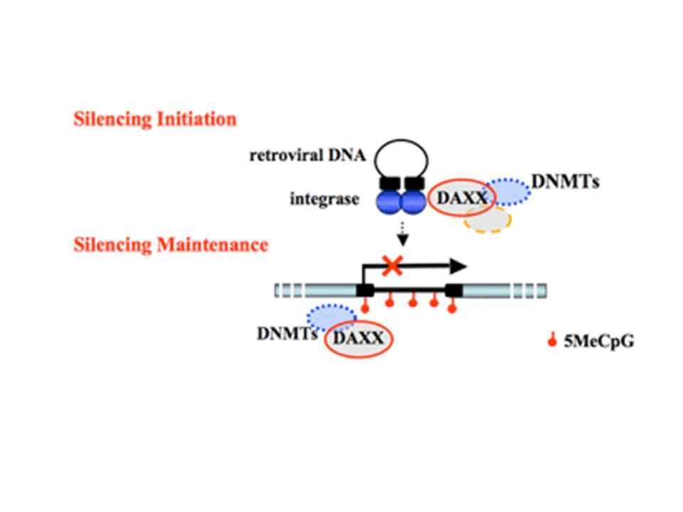 Model for the roles of the human Daxx protein in the initiation and maintenance of epigenetic silencing. Daxx acts as a scaffolding protein to recruit DNA methyltransferases (DNMTs) and histone deacetylases (HDACs) to avian sarcoma virus (ASV) DNA via binding to integrase (IN).  Bottom- Post-integration repressive marks are depicted as circles. The mechanism by which Daxx is positions on viral DNA to during silencing maintenance is unknow, as indicated by the question mark.