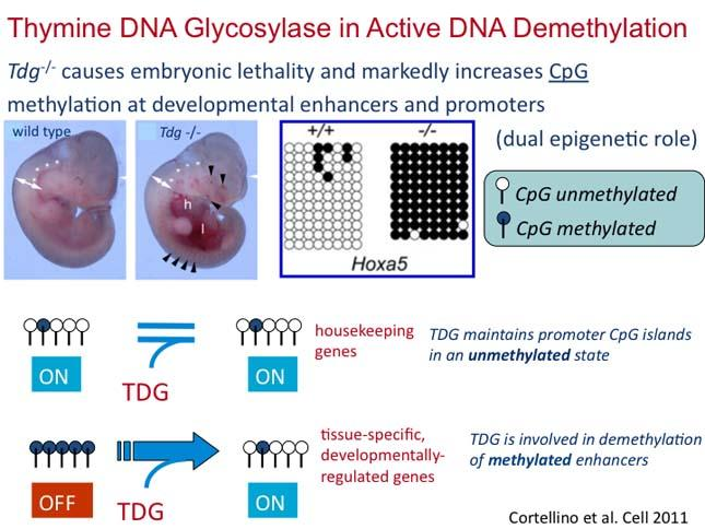 Thymine DNA Glycosylase in Active DNA Demethylization