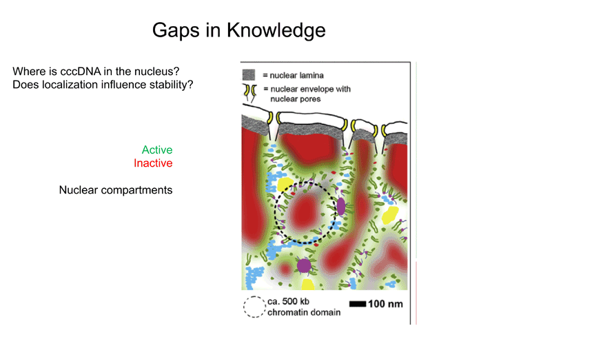 Gaps in knowledge: Where is cccDNA in the nucleus?